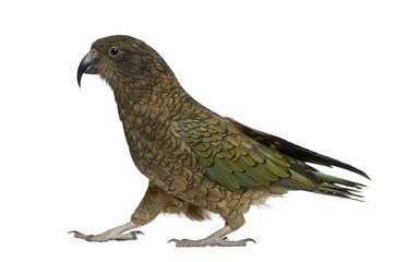Kea, Nestor notabilis, a parrot