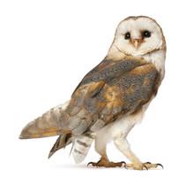 Barn Owl, Tyto Alba, Standing ...