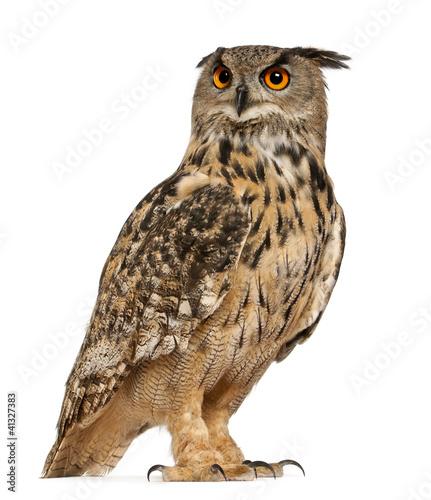 Photo sur Aluminium Chouette Eurasian Eagle-Owl, Bubo bubo, a species of eagle owl