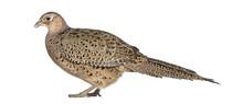 Female Golden Pheasant Or 'Chinese Pheasant'
