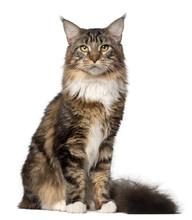 Portrait Of Maine Coon Cat, 10...
