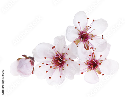 Foto op Canvas Kersenbloesem Cherry blossoms close up
