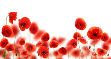 Poppy Flowers Isolated On Whit...