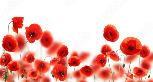 Montage in der Fensternische Mohn Poppy flowers isolated on white background