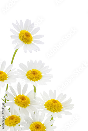 Foto op Canvas Madeliefjes Daisies flower in white background