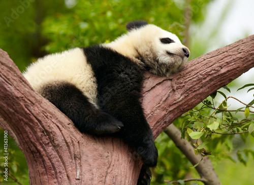Fototapety, obrazy: Sleeping giant panda baby