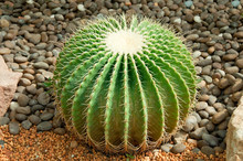 The Golden Ball Cactus( Echino...