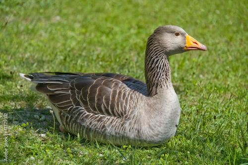 wild goose resting in grass Wallpaper Mural
