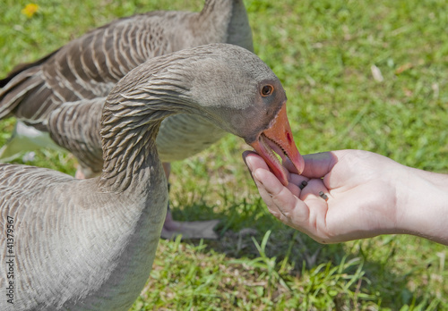 Photo  feeding goose from hand.