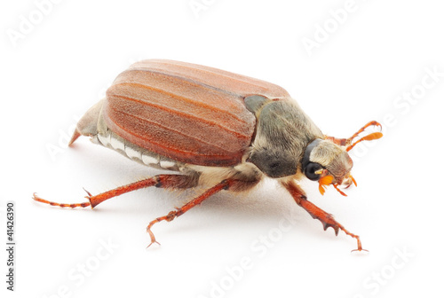 Canvas-taulu Chafer isolated on white