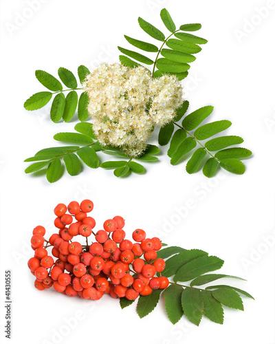 czerwona-jarzebina-i-biale-kwiaty-na-bialym-tle