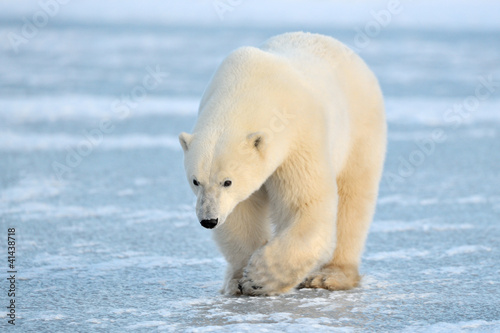 Polar Bear walking on blue ice. Canvas Print