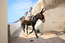 A Donkey Used For Carrying Tou...