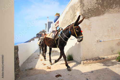 A donkey used for carrying tourists