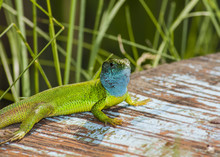 Lacerta Viridis - Male 2