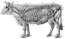 The Structure Of The Cow (the ...