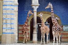 4 Girafes.