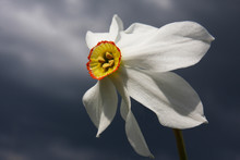 Wild Narcissus On Dark Backgro...