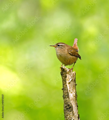 Fotografie, Obraz  Winter Wren on Branch