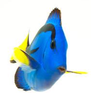 Blue Tang , Marine Coral Fish ...