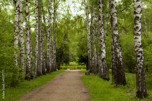 Photo Stands Birch Grove Spring in the forest