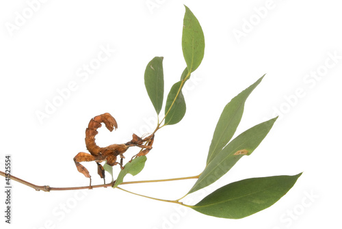 Photo  Female spiny leaf insect, Extatosoma tiaratum, on a branch