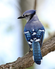 Blue Jay Perched In A Tree - Ontario, Canada