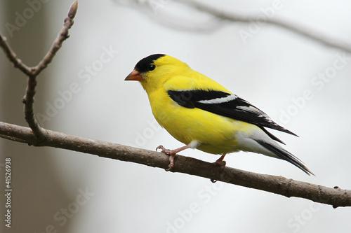 Obraz na plátně Male American Goldfinch (Spinus tristis)