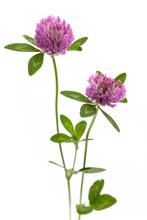 Rotklee (Trifolium Pratense) S...
