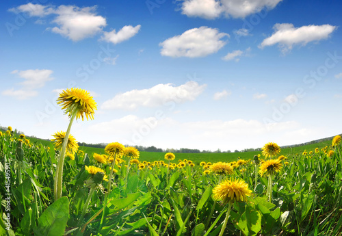 Fotografie, Obraz  dandelions in the meadow - fisheye shot