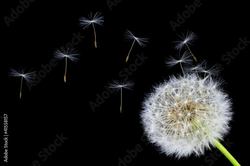 Staande foto Paardebloem Dandelion flower and flying seeds on a black background