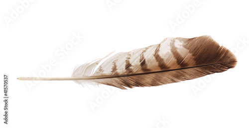 Feather from bird of prey buzzard