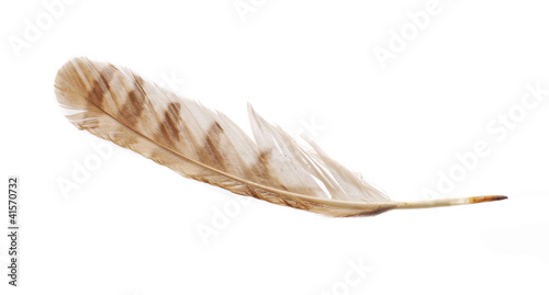 Feather from bird of prey tawny owl