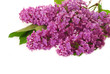 branch of purple lilac as background
