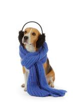 Chien Beagle Avec écharpe