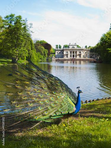 Fototapeta peacock in a classic park obraz