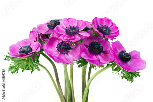 Photo  Beautiful purple anemone flower