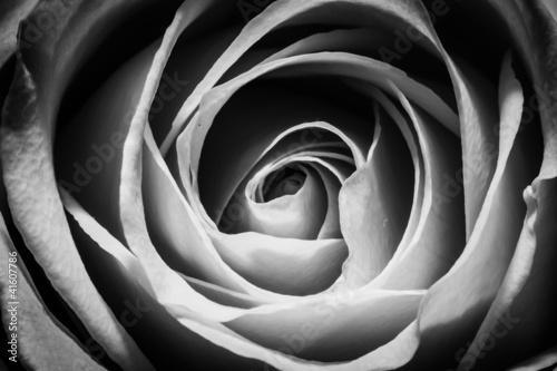 Midnight Rose Fototapeta