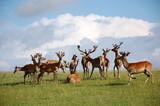 Fototapeta Zwierzęta - stado jeleni