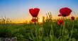 Wild Poppies And Sunrise