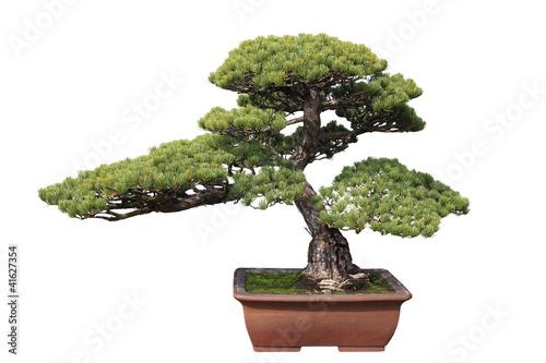 Aluminium Prints Bonsai green bonsai pine
