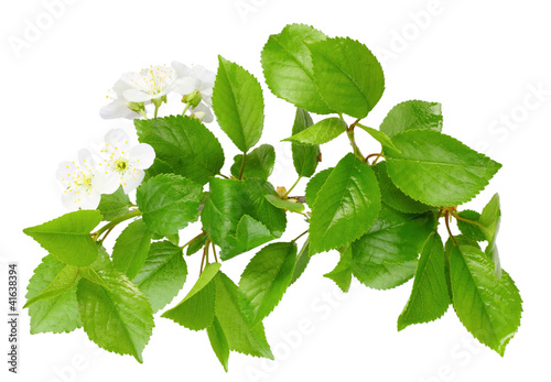 Branch of plum tree with leaf and white flowers