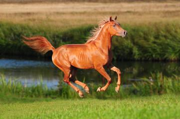 chestnut free horse runs