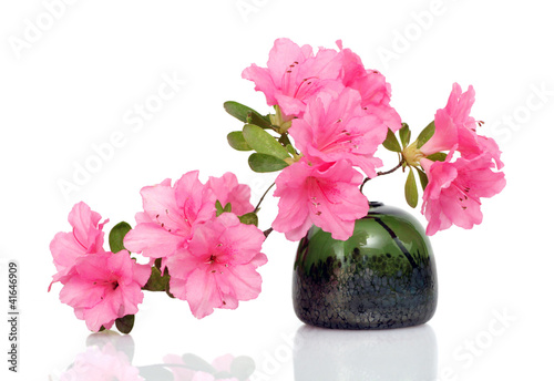 Pink Azalea on White