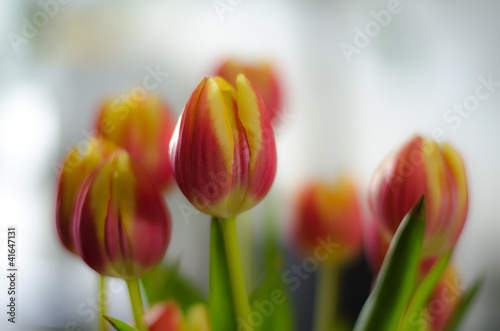 Poster Flower shop red tulips