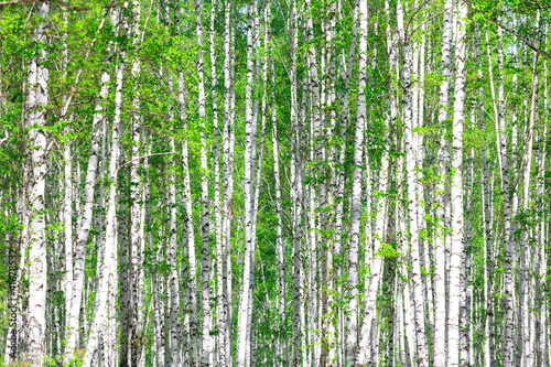 Deurstickers Berkbosje Birch forest. May