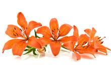 Orange Lily On A White Background