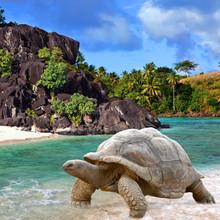 Large Turtle (Megalochelys Gigantea) At The Sea Edge