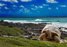 Large Turtle At The Sea Edge O...