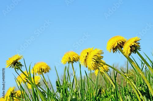 In de dag Narcis Dandelions